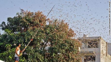 A resident tries to fend off swarms of locusts from a mango tree in a residential area of Jaipur in the Indian state of Rajasthan on May 25, 2020.