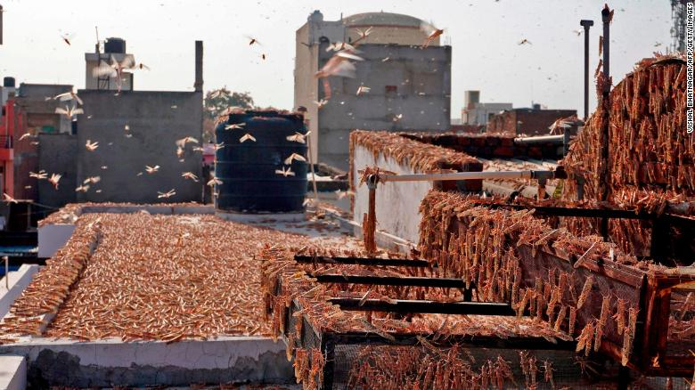 Swarms of locusts are seen atop a residential building in Jaipur in the Indian state of Rajasthan on May 25.