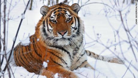 Siberian tigers grow a thick winter coat — allowing them to survive in the freezing temperatures of Russia's far east.
