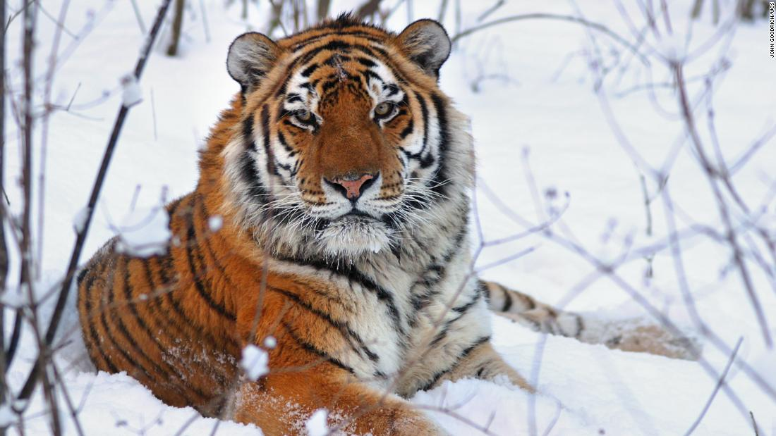 What is the real tiger king? Answer: The Siberian tiger