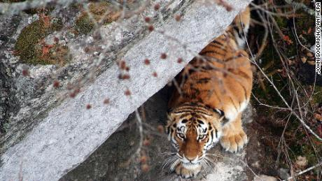 Sadly there are only 500 of these tiger royalty left in the wild -- 95% of which live in the Russian far east, according to WCS. An estimated 3,900 tigers remain in the wild in total.