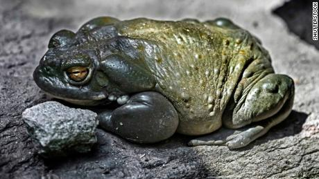 The Bufo alvarius toad, pictured here in a stock image, is found in Arizona, New Mexico and Mexico.