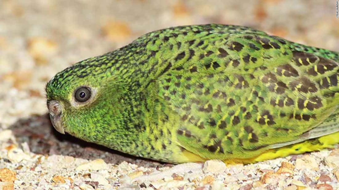 Australia's rare, elusive night parrot may not see that well in the dark
