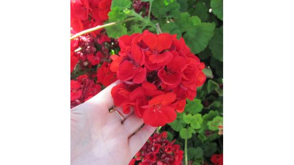 Calliope Big Red Geraniums