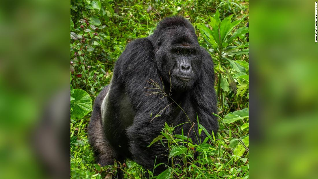 Uganda Wildlife Authority have arrested four people over the death of Rafiki, the Silverback of Nkuringo Gorilla group in Bwindi Impenetrable National Park. They will be prosecuted in the courts of law.