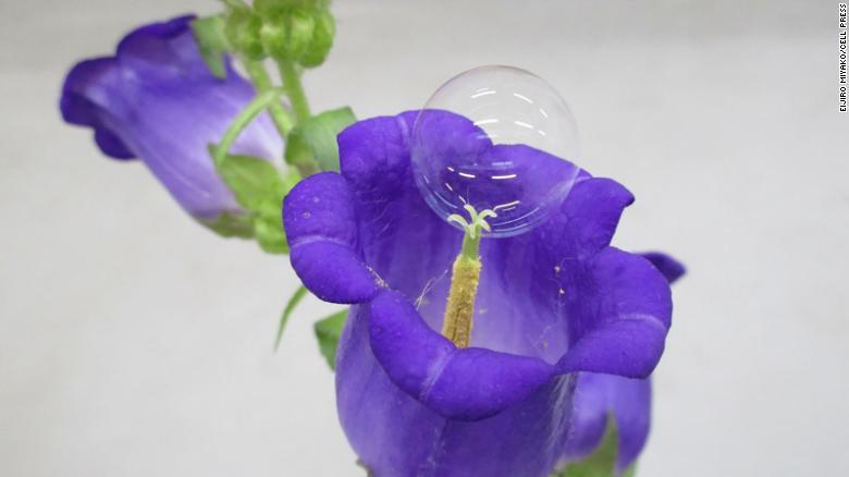 この写真は、カンパニュラの花に化学的に製造されたシャボン玉を示しています。