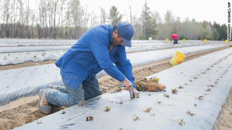 A temporary foreign worker from Mexico plants strawberries on a farm in Mirabel, Que., Wednesday, May 6, 2020, as the COVID-19 pandemic continues in Canada and around the world. (Graham Hughes/The Canadian Press via AP)