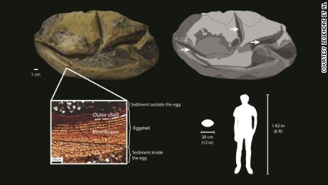 This diagram showing the fossil egg, its parts and relative size.