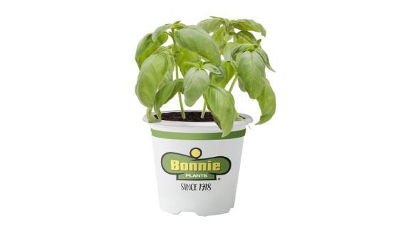 Bonnie Plants Sweet Basil