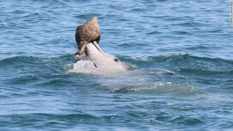 This image shows a dolphin shelling in Shark Bay in Western Australia.