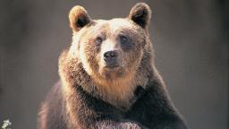 200627081413 01 brown bear italy file hp video
