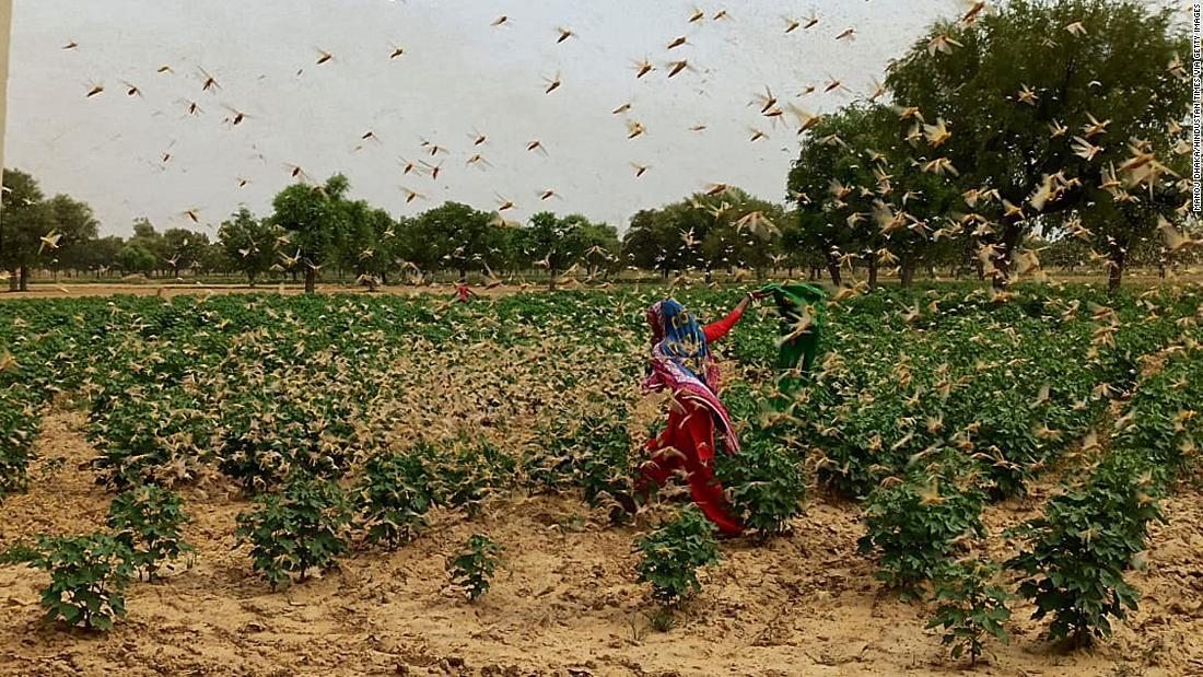 Locusta dell'India: Nuova Delhi in allerta dopo che le locuste del deserto sciamano attraverso la vicina Gurgaon