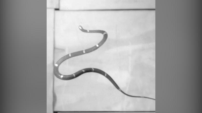 Flying Snakes Here S How Snakes Can Glide Through The Air Cnn