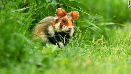 A European hamster sitting in a meadow in Austria. The species is now critically endangered according to the International Union for Conservation of Nature.