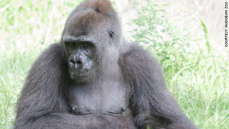 A critically endangered gorilla is about to be a mom, and she's using a doll for practice