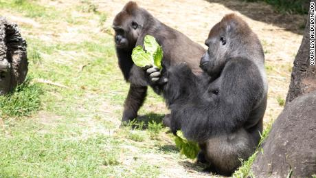 Tumani and Okpara are expecting a baby at Audubon Zoo.