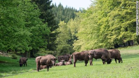 A herd of eight European bison graze in the Rothaargebirge mountain range on May 5, 2014 near Bad Berleburg, Germany. A similar project to reintroduce European bison in England will take place in 2022 in hopes the bison will restore wildlife.