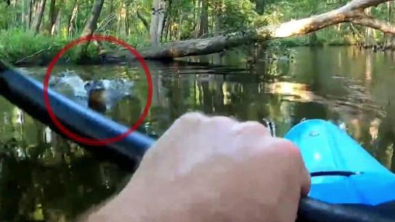 alligator close call 2