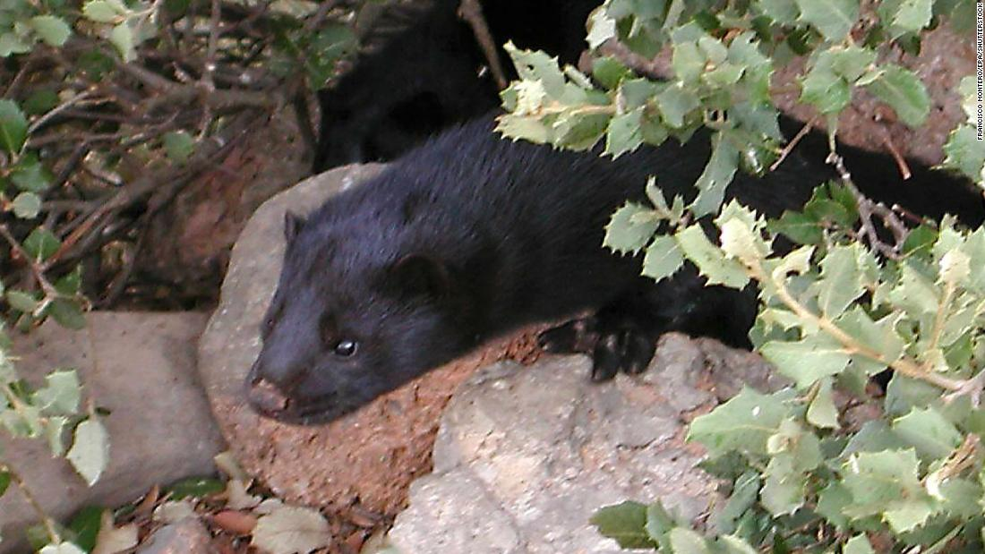 Spain Orders Cull Of Nearly 100 000 Farmed Mink After Animals Test Positive For Covid 19 Cnn
