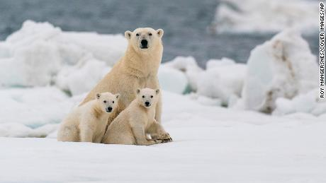 Most polar bears could struggle to survive in the Arctic by 2100, study finds