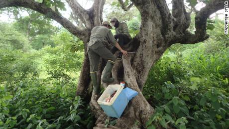 Researchers Noah Rose and Gilbert Bianquinche survey a tree hole for Aedes aegypti larvae. More than half of the world's population lives in areas where Aedes aegypti mosquitoes are present.
