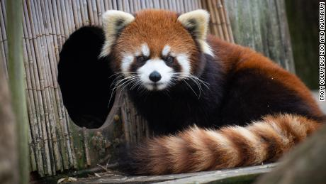 A young red panda that went missing at the Columbus Zoo and Aquarium has been found, the zoo said.