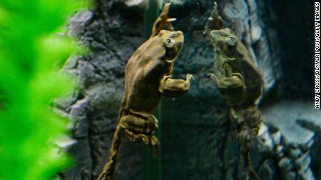 "A Titicaca ""scrotum frog"" in an aquarium exhibit at the Denver Zoo in March 2016."
