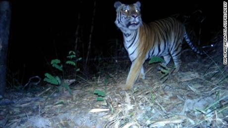 There are about 160 wild tigers left in Thailand.