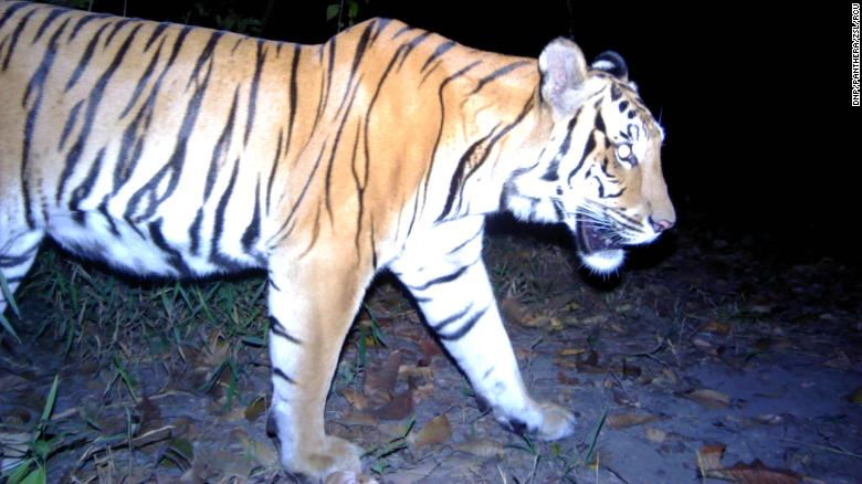 Remote camera traps captured three young Indochinese tigers over a period of several months in western Thailand.