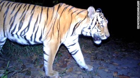 Remote camera traps captured three young Indonesian tigers in western Thailand in a matter of months.