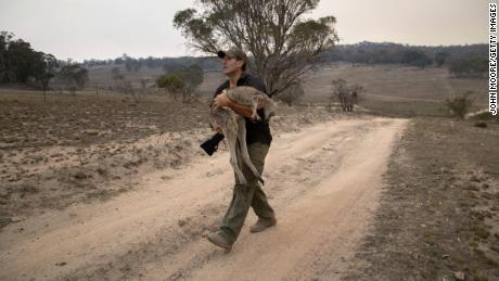 An animal rescuer carries a kangaroo burned in a bushfire.