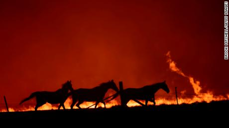 Horses near a fire in Canberra, Australia, on February 1.