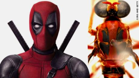 The superhero Deadpool and the Humorolethalis sergius fly.