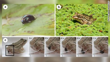 Pictured above is (a) an adult aquatic beetle Regimbartia attenuata, (b) the potential predator Pelophylax nigromaculatus and (c) R. attenuata escaping from the vent of P. nigromaculatus.