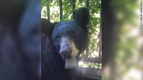Chapman told HAB that she found the bear on her front porch on July 31.
