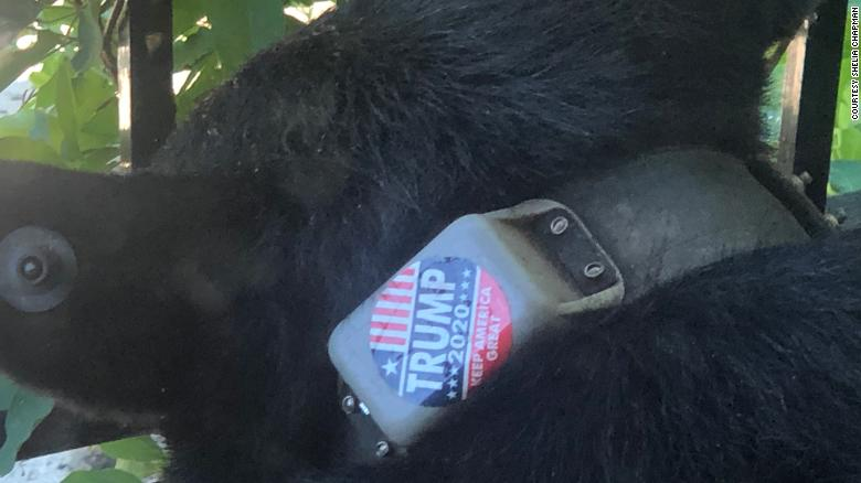 The Trump 2020 sticker was seen attached to the bear's tracking collar, according to photographs obtained by CNN.