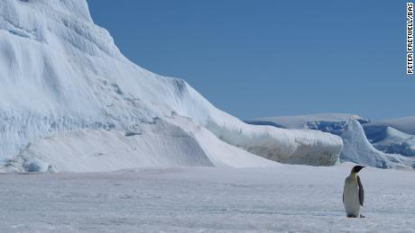Climate change is threatening the natural habitat of the emperor penguins.