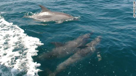 Toxic chemicals from burning fossil fuels poison dolphins and whales on East Coast