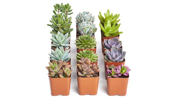 Mini Succulents, collection of 15