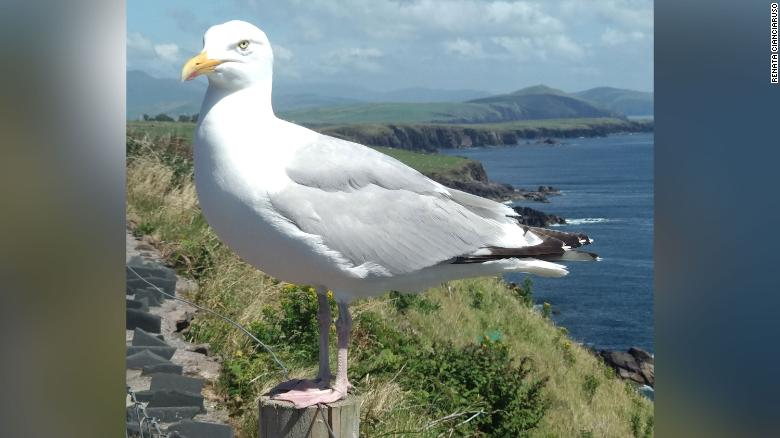 A seabird in Rings of Kerry, Ireland. Seabird waste contributes vital nutrients to marine ecosystems and is important for coastal economies.