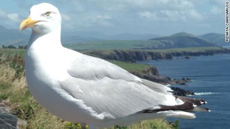 A seabird in Rings of Kerry, Ireland