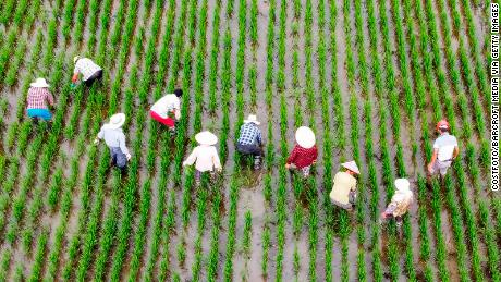 Farm workers pull weeds from the rice fields in Taizhou, Jiangsu Province, China, on July 8.