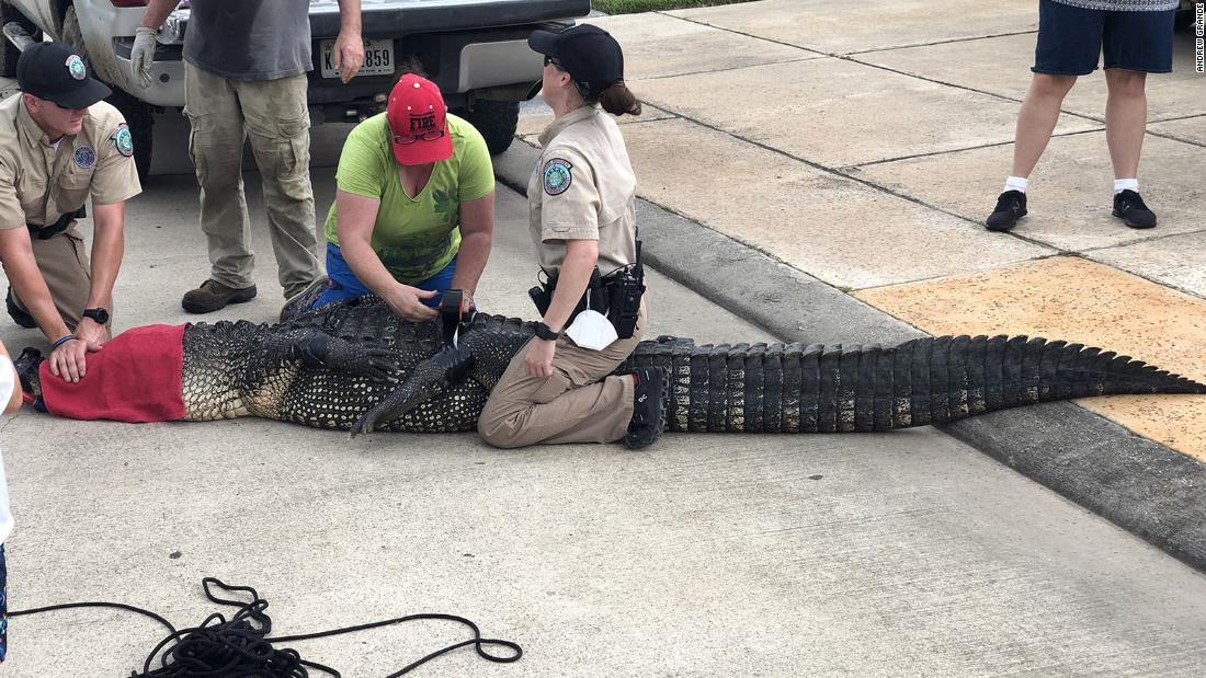 When a nearly 12-foot alligator came toward his 4-year-old, this dad sprung into action