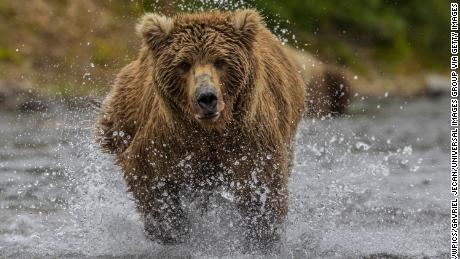 Brown bear hunting for salmon in the river. (Photo by: VWPICS/Gavriel Jecan/Universal Images Group via Getty Images)