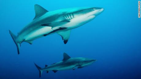 Researchers implanted transmitters into gray reef sharks at an atoll in the Pacific and found that the animals are quite a bit more social than previously thought.