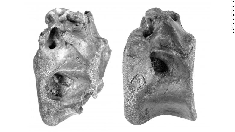 Two of the four bones that were discovered last year, determined to belong to the Vectaerovenator inopinatus.