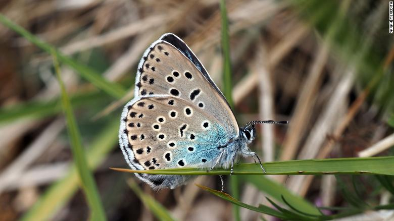 The butterflies were declared extinct in the UK more than 40 years ago.