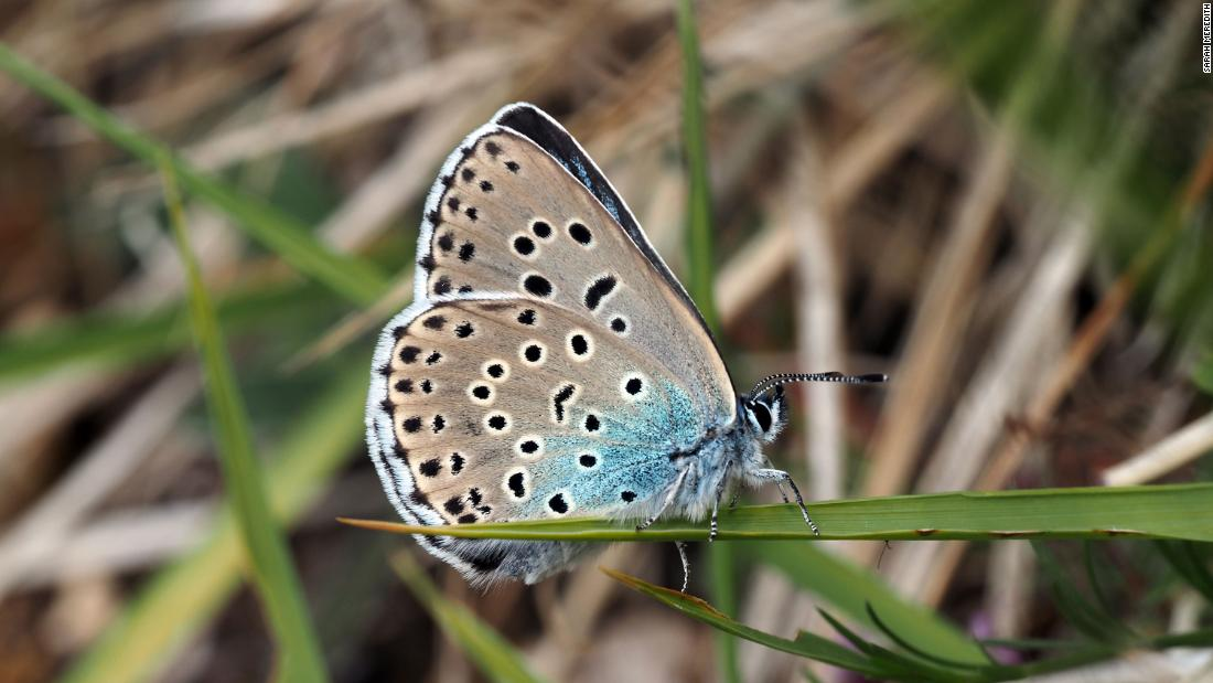 'Extinct' large blue butterfly successfully reintroduced to UK