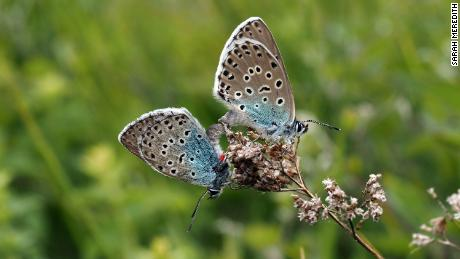 A mating pair of large blue butterflies on Rodborough Common.
