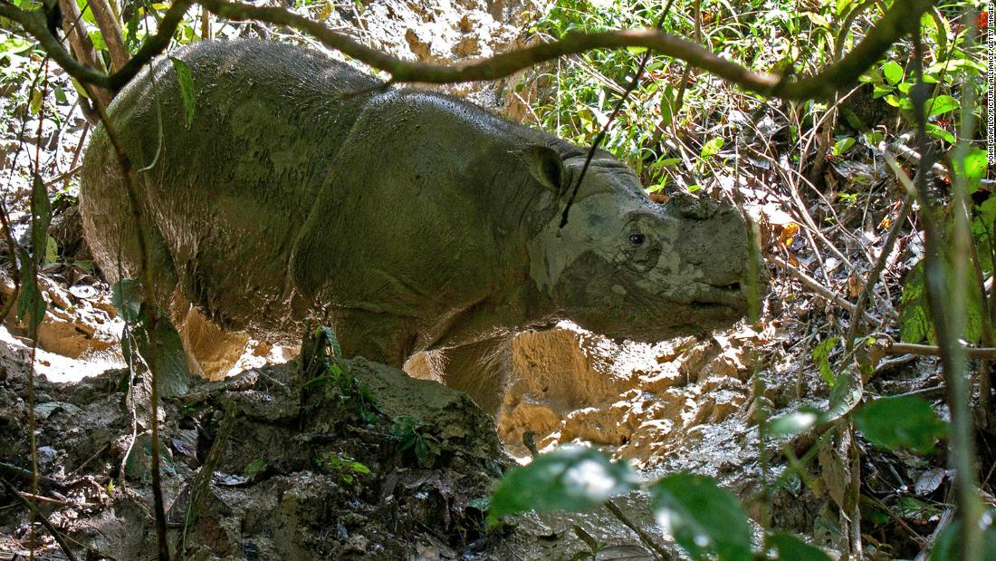 Every Sumatran rhino has died in Malaysia. Scientists want to bring them back with cloning technology - CNN International
